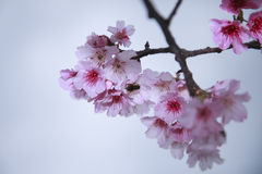 La primavera está viniendo, las flores de cerezo está floreciendo Imagen de archivo