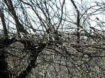 La primavera está viniendo, los mensajeros tempranos, brotes de la magnolia, Croacia, 17 Foto de archivo libre de regalías
