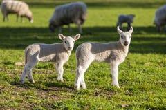 La primavera figlia le pecore del bambino in un campo Immagini Stock Libere da Diritti