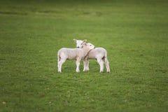 La primavera figlia le pecore del bambino in un campo Fotografia Stock