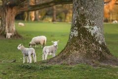 La primavera figlia le pecore del bambino in un campo Fotografia Stock Libera da Diritti