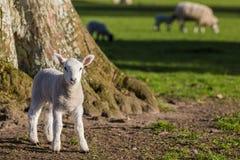 La primavera figlia le pecore del bambino in un campo Fotografie Stock Libere da Diritti