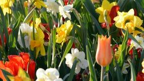 La primavera fiorisce fondo Immagine Stock Libera da Diritti