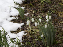 La primavera fiorisce i bucaneve (Galanthus) in una foresta in primavera Immagine Stock Libera da Diritti