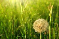 La primavera fiorisce i denti di leone in erba verde Immagini Stock
