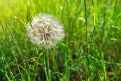 La primavera fiorisce i denti di leone in erba verde Fotografia Stock