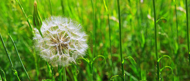 La primavera fiorisce i denti di leone in erba verde Fotografie Stock Libere da Diritti
