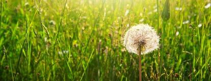 La primavera fiorisce i denti di leone in erba verde Immagine Stock Libera da Diritti