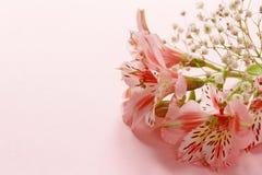 La primavera fiorisce il alstroemeria su un rosa Immagine Stock