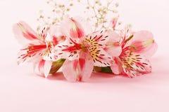 La primavera fiorisce il alstroemeria su un rosa Immagini Stock