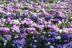 La primavera fiorisce il campo bianco porpora Immagine Stock