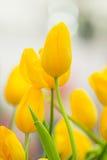 La primavera fiorisce il mazzo Bello mazzo giallo dei tulipani Fotografie Stock Libere da Diritti