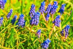 La primavera fiorisce il Muscari Fotografie Stock
