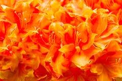 La primavera fiorisce il primo piano, grande fiore cascante Per il disegno fotografie stock