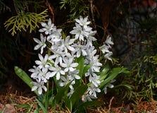 La primavera fiorisce il puschinia Fotografia Stock Libera da Diritti