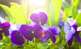 La primavera fiorisce la pansé (viola) Fotografia Stock Libera da Diritti