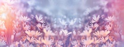 La primavera fiorisce in prato - fiori bianchi del prato fatti con i filtri colorati Fotografie Stock