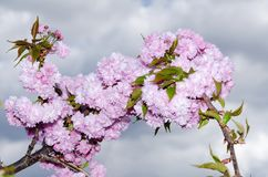 La primavera fiorisce Sakura Gorgeous Blossom Blooming Japanese decorativa immagini stock libere da diritti