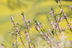 La primavera fiorisce la serie, pesca che sboccia nel giacimento del seme di ravizzone fotografia stock libera da diritti