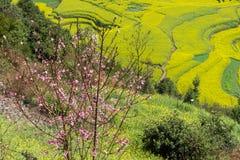 La primavera fiorisce la serie, pesca che sboccia nel giacimento del seme di ravizzone fotografia stock