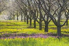 La primavera fiorisce sotto di melo nel frutteto del Michigan Porpora e immagini stock