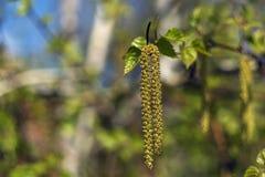 La primavera florece abedul del árbol Foto de archivo libre de regalías