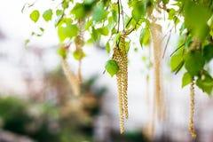 La primavera florece abedul del árbol con las hojas verdes jovenes Fotos de archivo