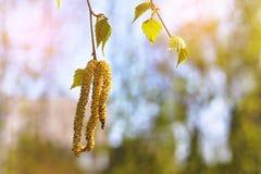 La primavera florece abedul del árbol con las hojas verdes jovenes Imagen de archivo