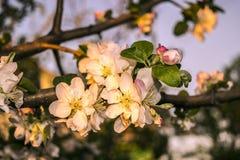 La primavera florece Apple Fotos de archivo