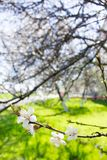 La primavera florece la cereza blanca floreciente en un backgrou verde borroso Imágenes de archivo libres de regalías