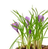 La primavera florece el azafrán Foto de archivo