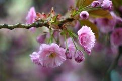 La primavera florece el fondo con la flor rosada Foto de archivo libre de regalías
