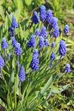 La primavera florece - el Muscari de las flores del azul o el jacinto murine imagenes de archivo
