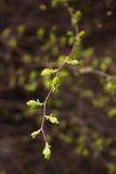 La primavera florece en ramas, en un fondo oscuro El foco selectivo, macro, entonó la imagen, efecto de la película Fotografía de archivo libre de regalías