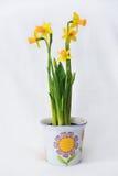 La primavera florece en un pote blanco - jardín Fotos de archivo libres de regalías