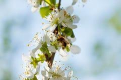 La primavera florece la floración en los árboles Jardín macro del tiro Fotos de archivo