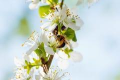 La primavera florece la floración en los árboles Jardín macro del tiro Foto de archivo libre de regalías