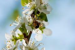 La primavera florece la floración en los árboles Jardín macro del tiro Imagen de archivo