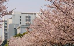 La primavera florece la serie, Cherry Blossom en la universidad de Tongji imagen de archivo