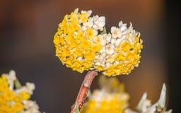 La primavera florece serie: Paperbush oriental Fotografía de archivo