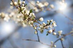 La primavera floreciente de la primavera florece en un árbol de ciruelo contra el cielo azul Fotografía de archivo libre de regalías