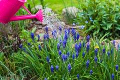 La primavera funziona l'annaffiatoio delle piante di innaffiatura del giardino Immagini Stock Libere da Diritti