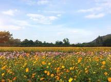 La primavera grande coloca concepto Prado con la floración rosada, flores anaranjadas, blancas del cosmos en estación de primaver Fotos de archivo