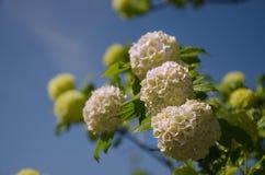 La primavera Guelder è aumentato, fiori bianchi di opulus di viburno in una forma della palla di neve Fotografia Stock Libera da Diritti