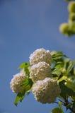 La primavera Guelder è aumentato, fiori bianchi di opulus di viburno in una forma della palla di neve Immagini Stock Libere da Diritti