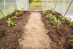 La primavera ha piantato la paprica delle piante (capsico, peperoni) nel piccolo verde fotografia stock libera da diritti