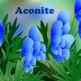 La primavera hermosa florece el acónito tarjetas o su diseño con el espacio para el texto Vector Foto de archivo libre de regalías