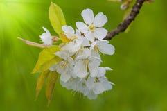 La primavera hermosa florece el fondo Imagen de archivo libre de regalías