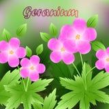 La primavera hermosa florece el geranio tarjetas o su diseño con el espacio para el texto Vector Imagen de archivo