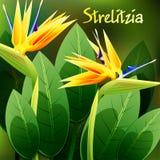 La primavera hermosa florece el Strelitzia Reginae tarjetas o su diseño con el espacio para el texto Vector Imagen de archivo
